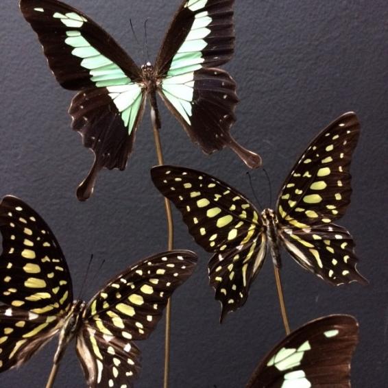 Envolée de papillons Graphium