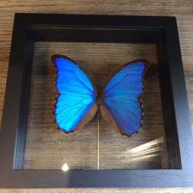 Entomological Transparent Frame: Morpho Didius