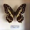 Entomological box :Papilio Erithonioides