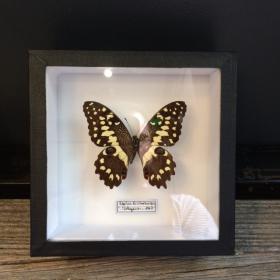 Entomological box :Papilio Erithonioides