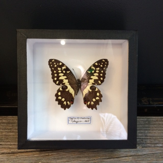 Boîte Entomologique: Papilio Erithonioides