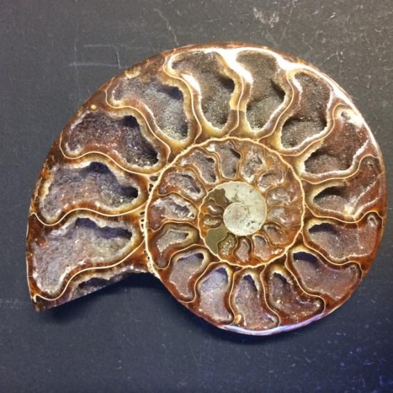 Fossile d'Ammonite sciée et polie (tranche)