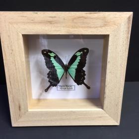 Cadre caisson Entomologique - Papilio Phorcas