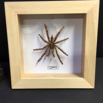 Black widow spider: Stromatopelma Calceatum Frame