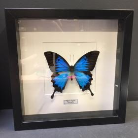 Cadre entomologique fond blanc - Papilio Ulysses