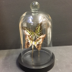 Little butterfly glass dome: Graphium Agamemnon