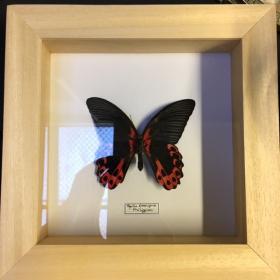 Cadre Entomologique à caisson Papilio Rumanzovia