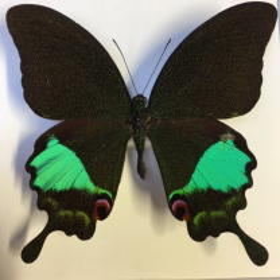 Cadre entomologique - Papilio Karna