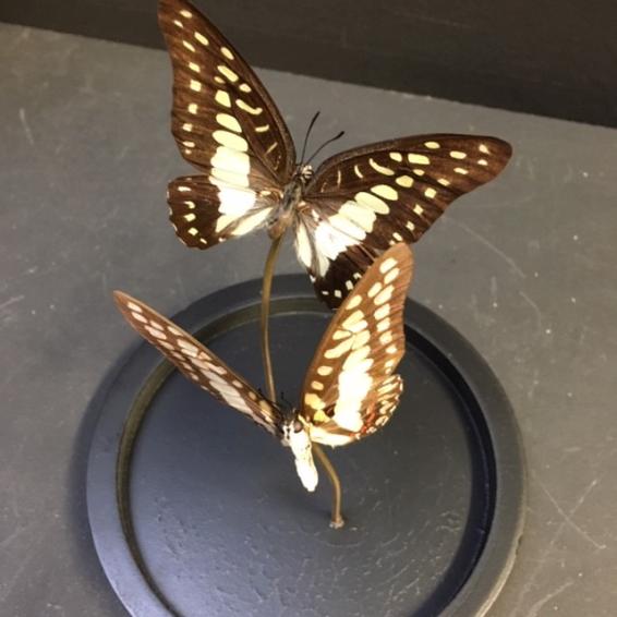 Petite cloche à papillon: graphium doson