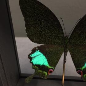 Cadre Entomologique Transparent - Papilio Karna