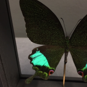 Transparent Entomological frame - Papilio Karna