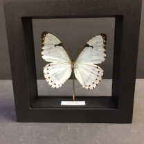 Transparent Entomological frame - Morpho Polyphemus