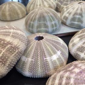 Test d'Oursin Vert Mauve: Toxopneustes pileolus