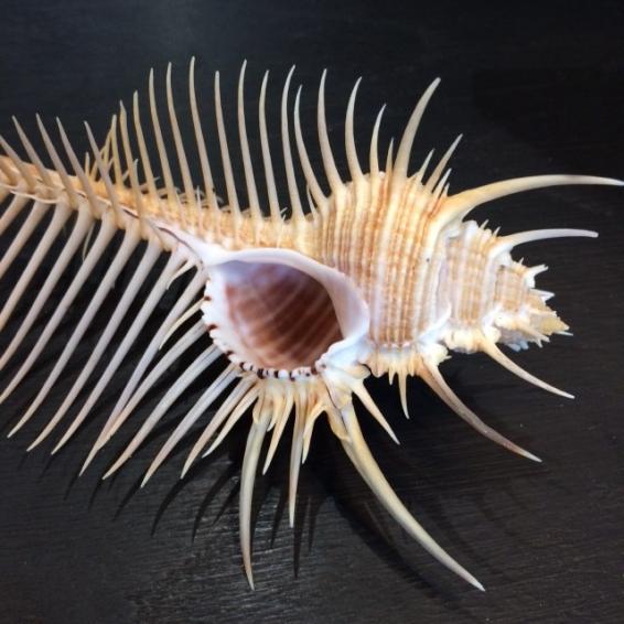 Venus Comb: Mures Pecten shell