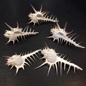 Murex Nigrospinosus shell