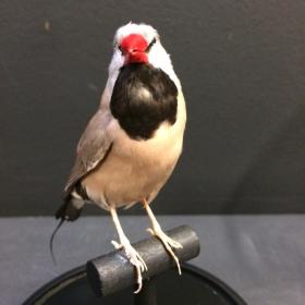 Taxidermy: Bird - Long-tailed Finch (Poephila acuticauda)
