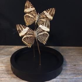 Little butterfly glass dome: Dirce Beauty Coloruba