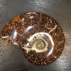 Fossile d'Ammonite polie à la feuille de chêne