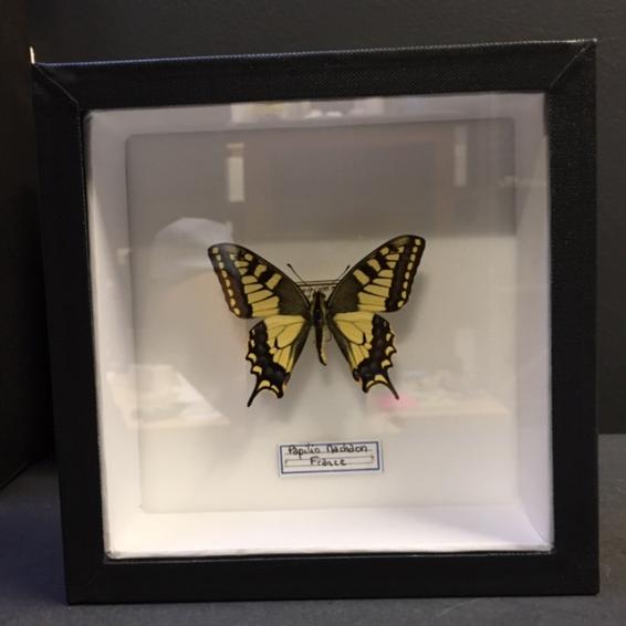 Boite entomologique - Papilio Machaon