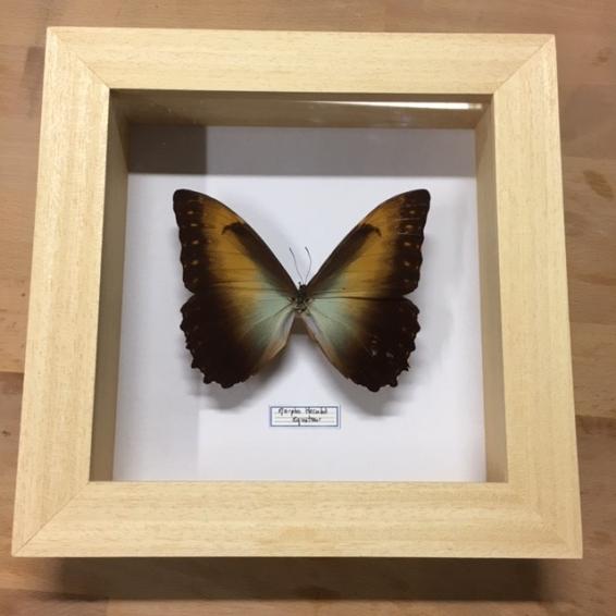 Cadre Entomologique à caisson: Morpho Hecuba