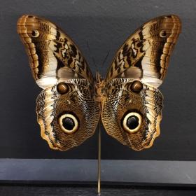 Entomologic transparent Frame - yellow-edged giant owl (Caligo Atreus)