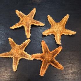 Starfish Asteropdeidae