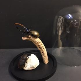 Pair of Dynaste Hercule Septentrionalis under bell