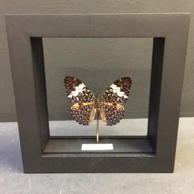 Cadre Entomologique Transparent - Hamadryas arinome