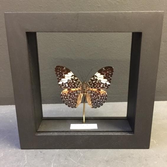 Transparent Entomological frame - Hamadryas arinome