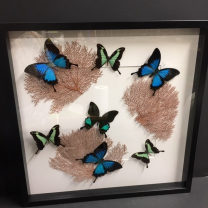 Butterflies and red sea whip Frame