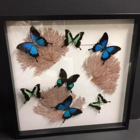 Cadre entomologique : composition Papilions et gorgones
