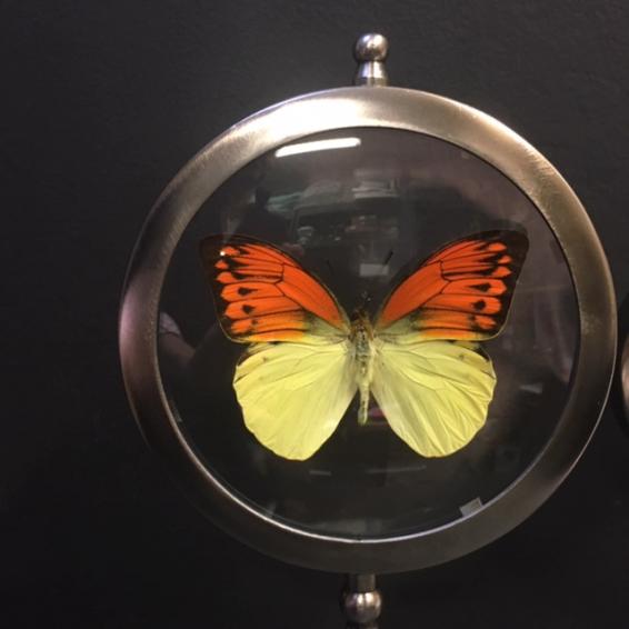 Naturalist Frame Hebomoia leucippe