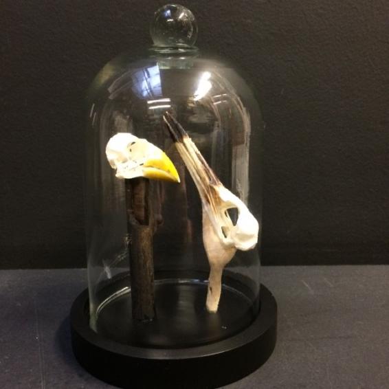 kingfisher skulls under glass bell