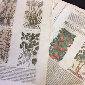 Planche botanique de 1572 par Mattioli. Herbier