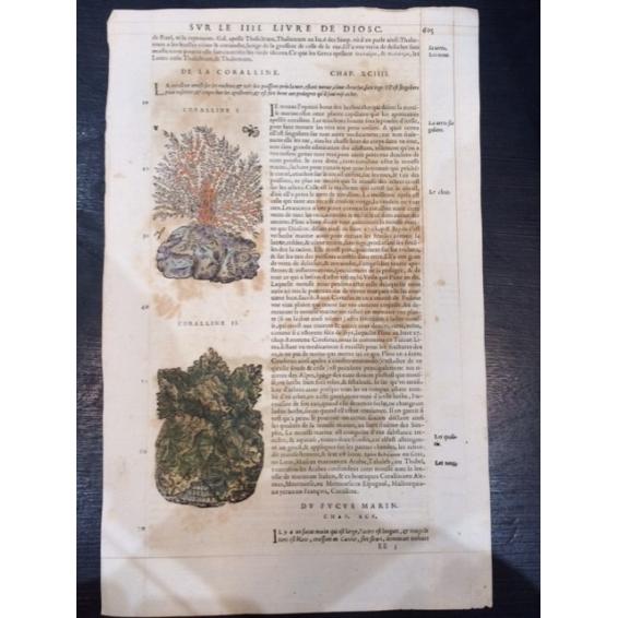 Planche botanique de 1572 par Mattioli.