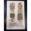 Botanical board of 1572: hand-painted wood engraving from the 16th century by Mattioli