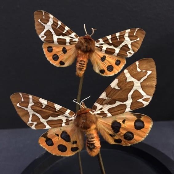 Petite cloche à papillon: Arctia Caja