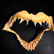 Old jaw of Mako Shark
