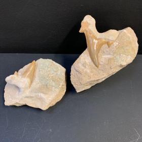 Fossile de dent de requin: Otodus Obliquus 50 Millions d'années