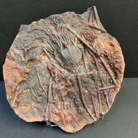 Fossile de Scyphocrinite: Crinoïde - 420 millions d'années