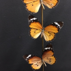 Flight of African monarch -Danaus chrysippus