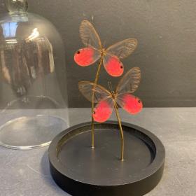 Petite cloche à papillon: Cithaerias Merolina
