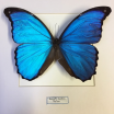 Entomological frame - Morpho Didius