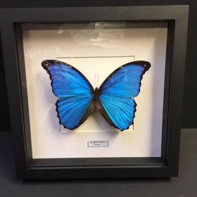 Cadre entomologique - Morpho Didius