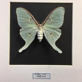 Entomological frame - Actias Luna / Luna Moth