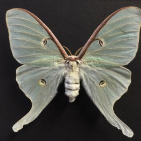 Cadre entomologique - Actias Luna (fond noir)