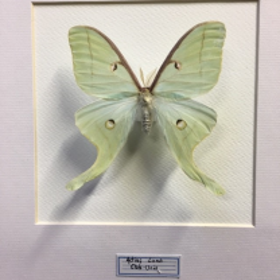 Cadre entomologique - Actias Luna (fond blanc)